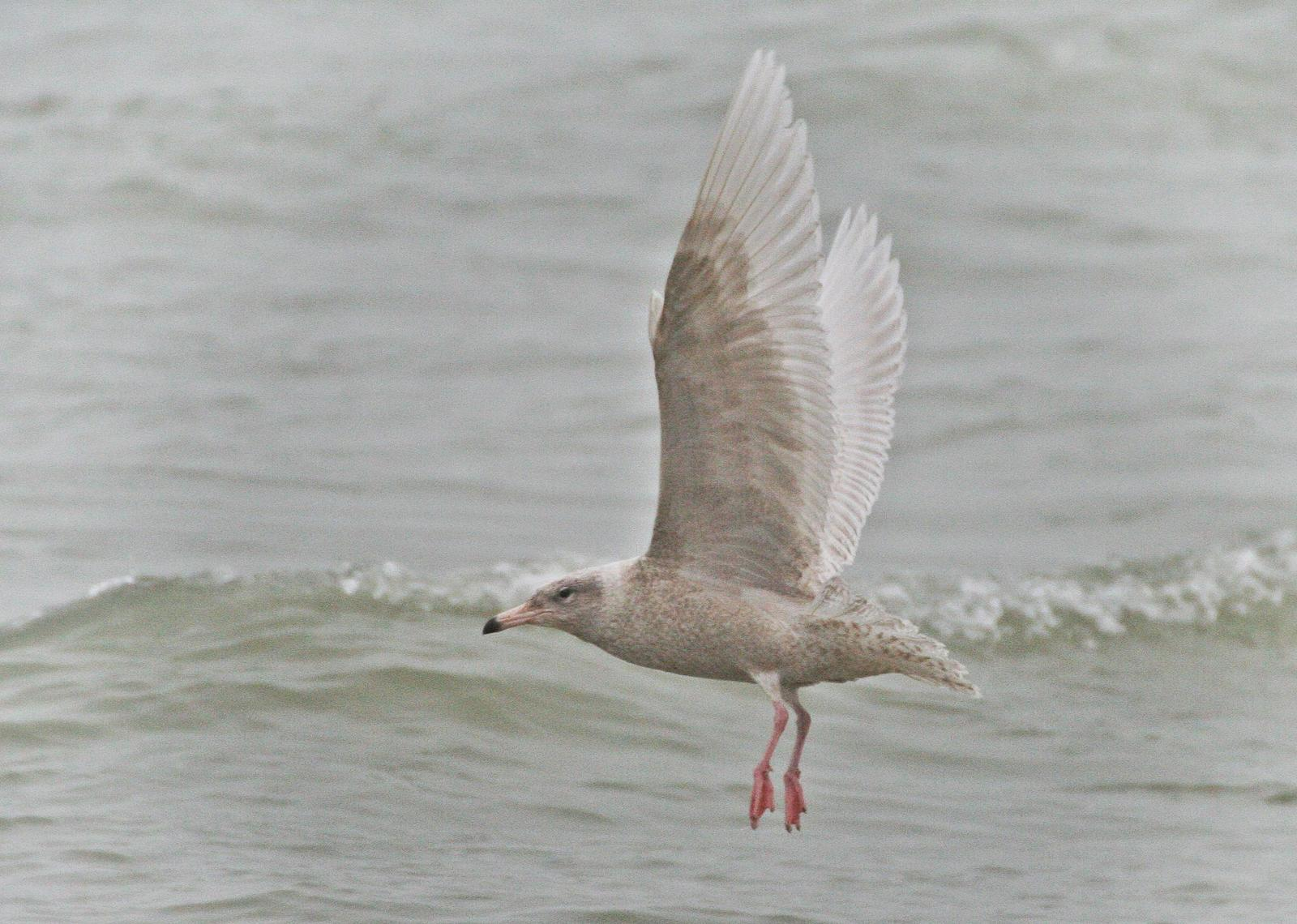 Glaucous Gull Photo by Andrew Theus