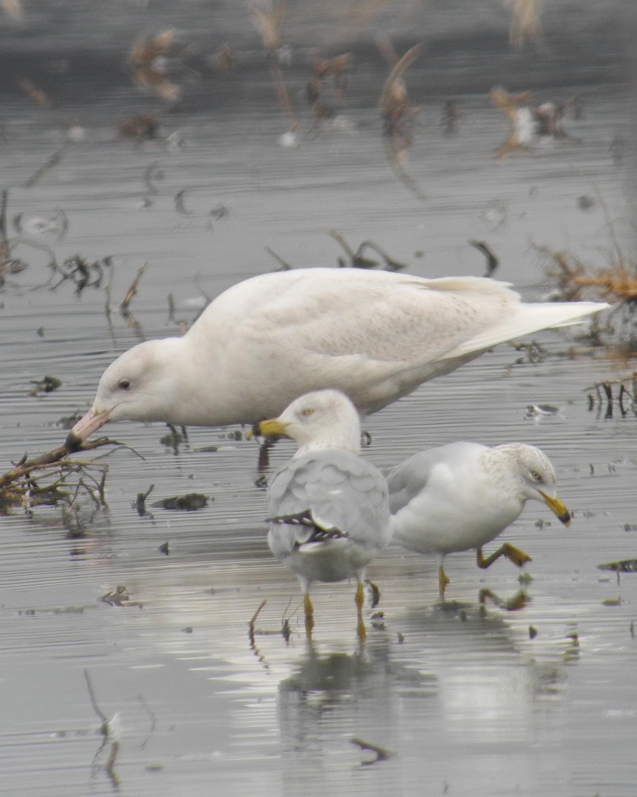 Glaucous Gull Photo by Oscar Johnson