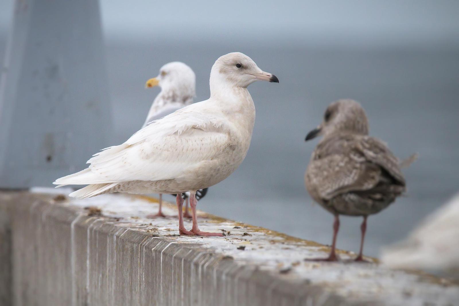 Glaucous Gull Photo by Ryan Jones