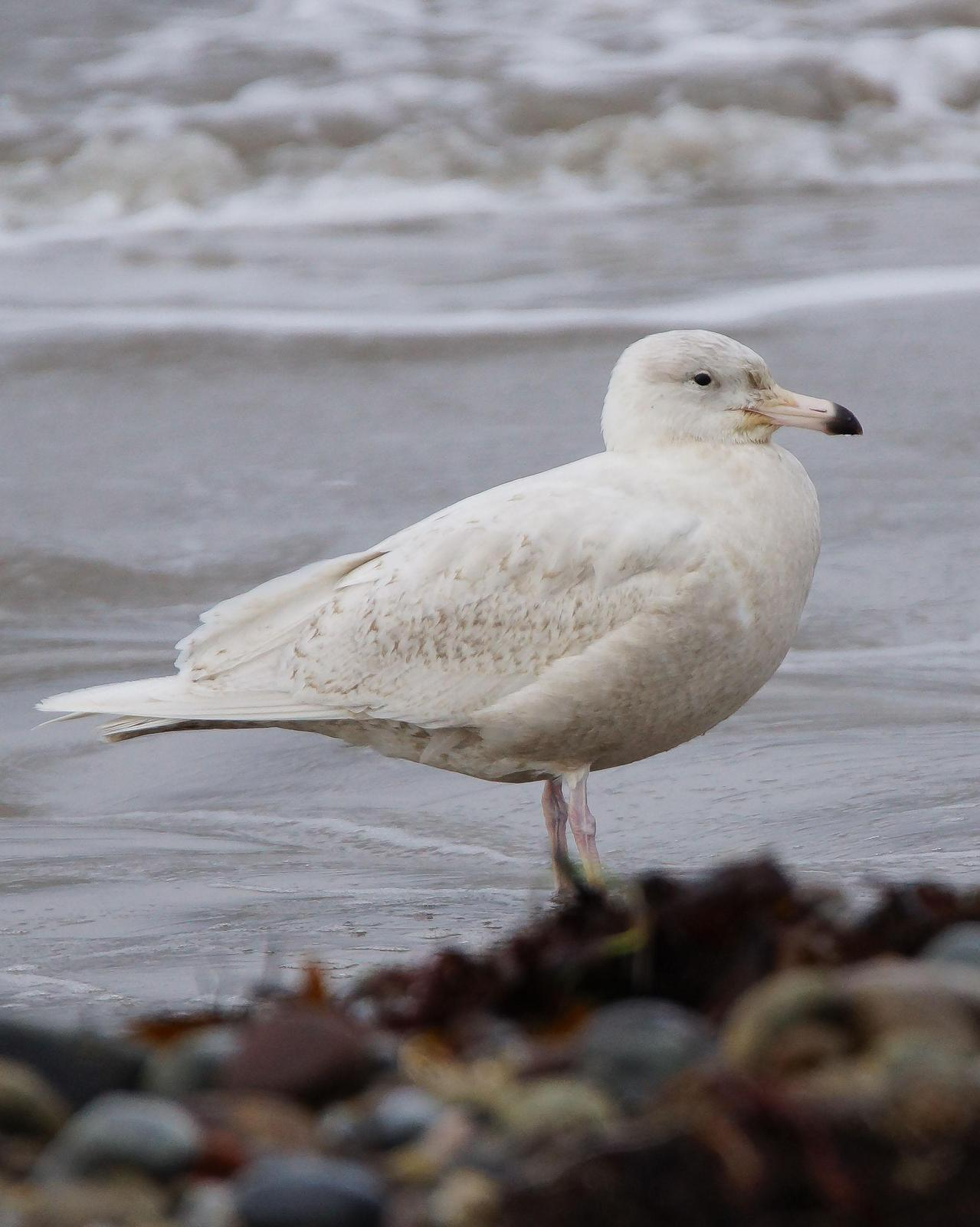 Glaucous Gull Photo by Steve Percival