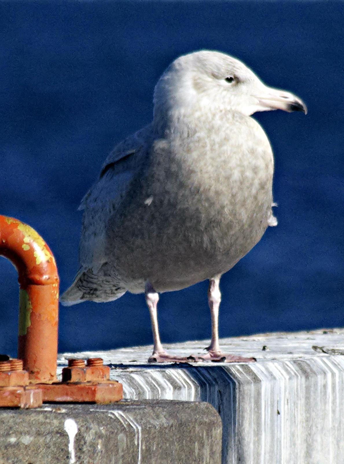 Glaucous Gull Photo by Dan Tallman