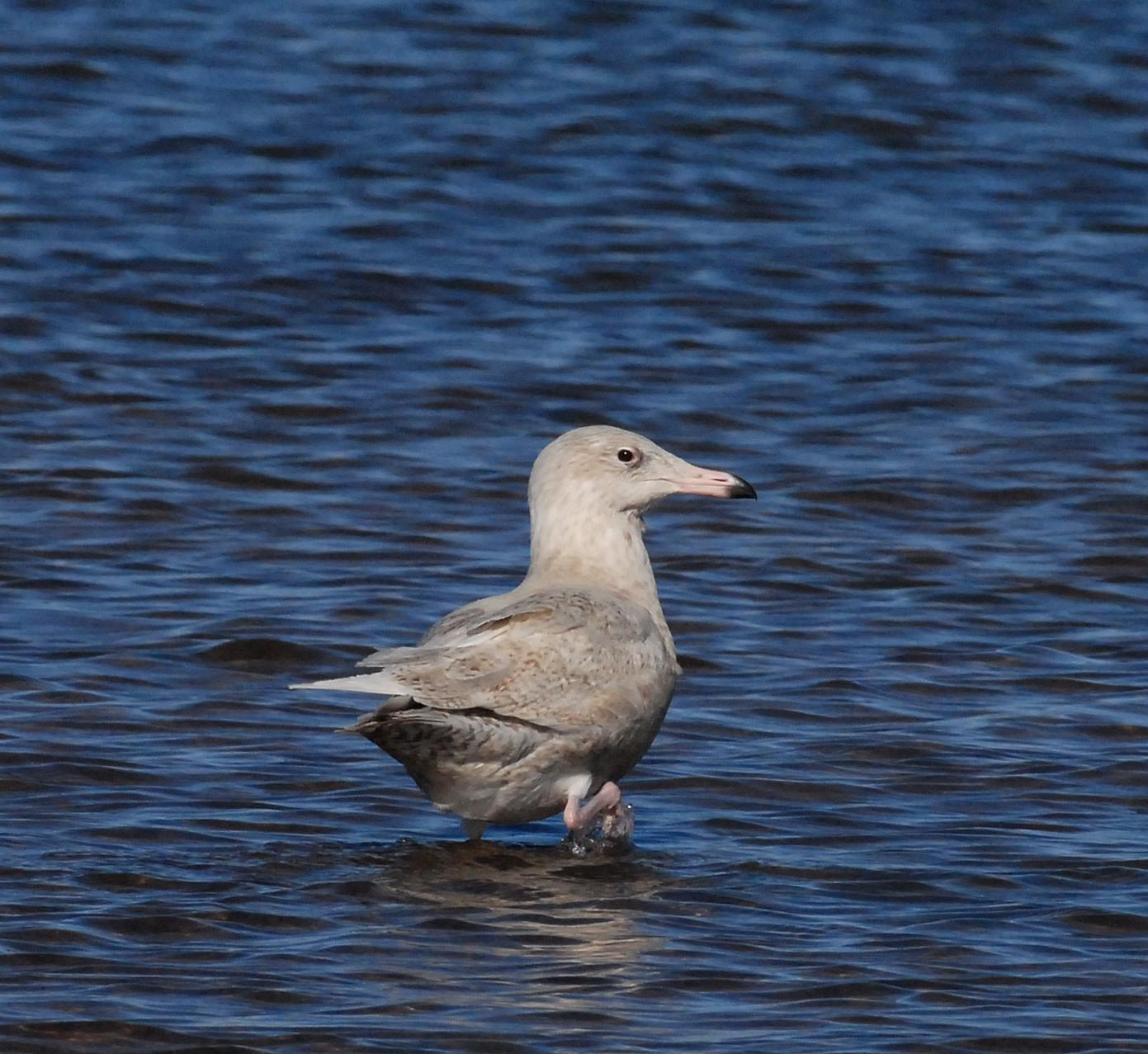Glaucous Gull Photo by Steven Mlodinow