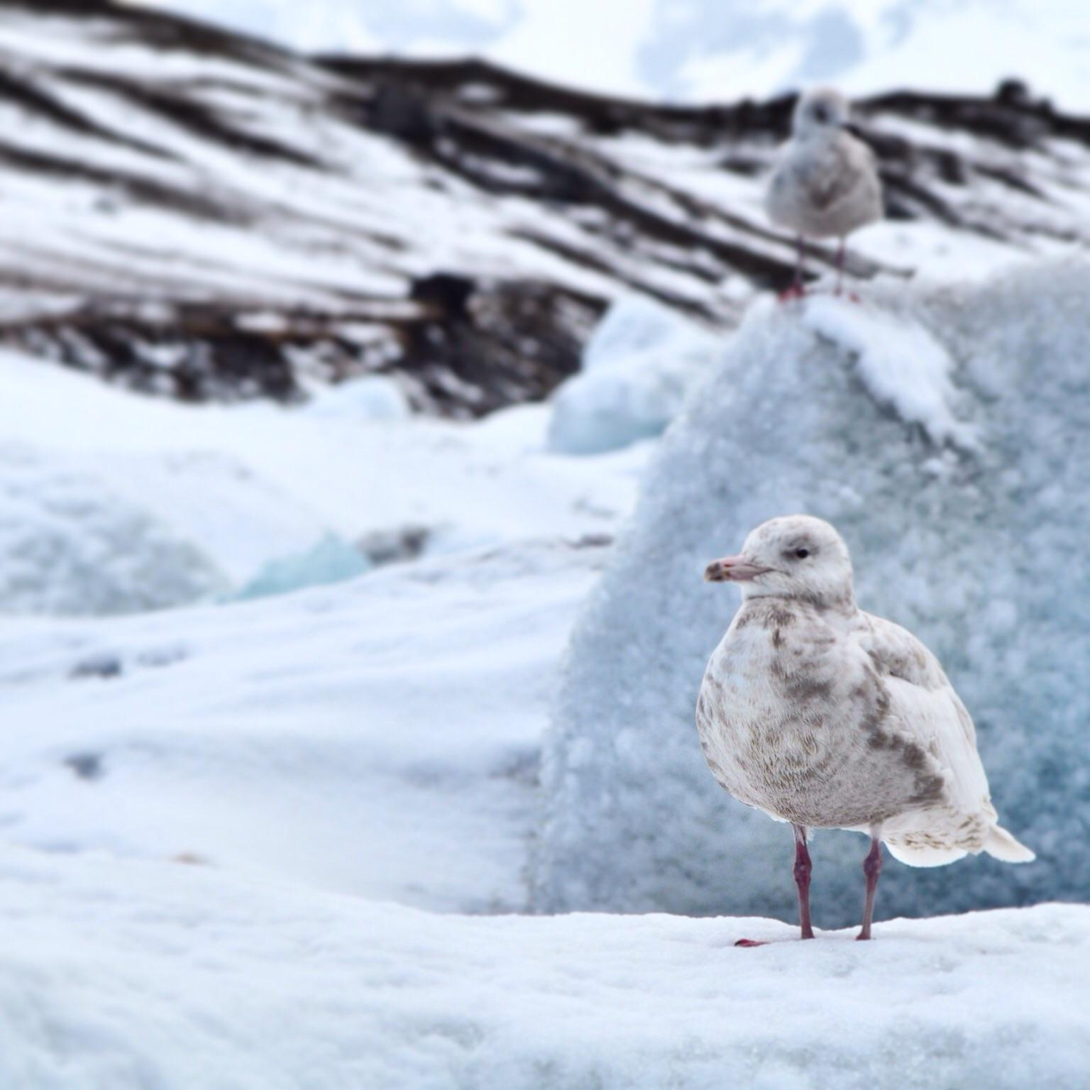 Glaucous Gull Photo by Simon Bernard