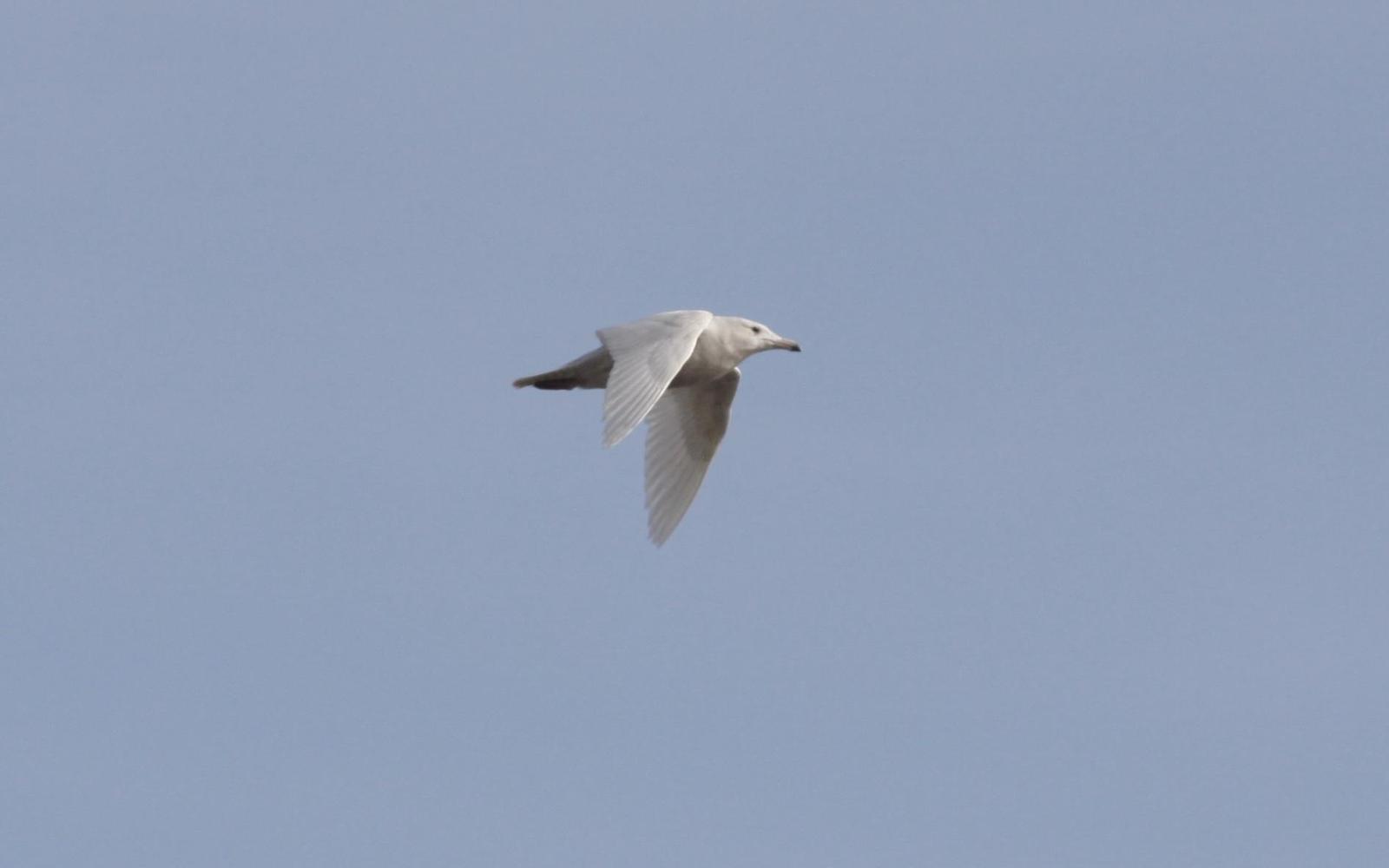 Glaucous Gull Photo by Tim Schreckengost
