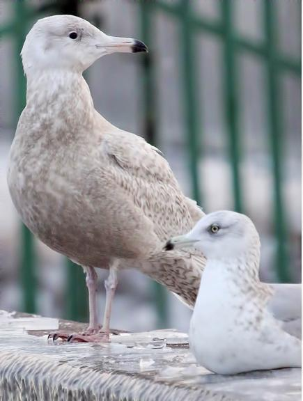 Glaucous Gull Photo by Dan Tallman
