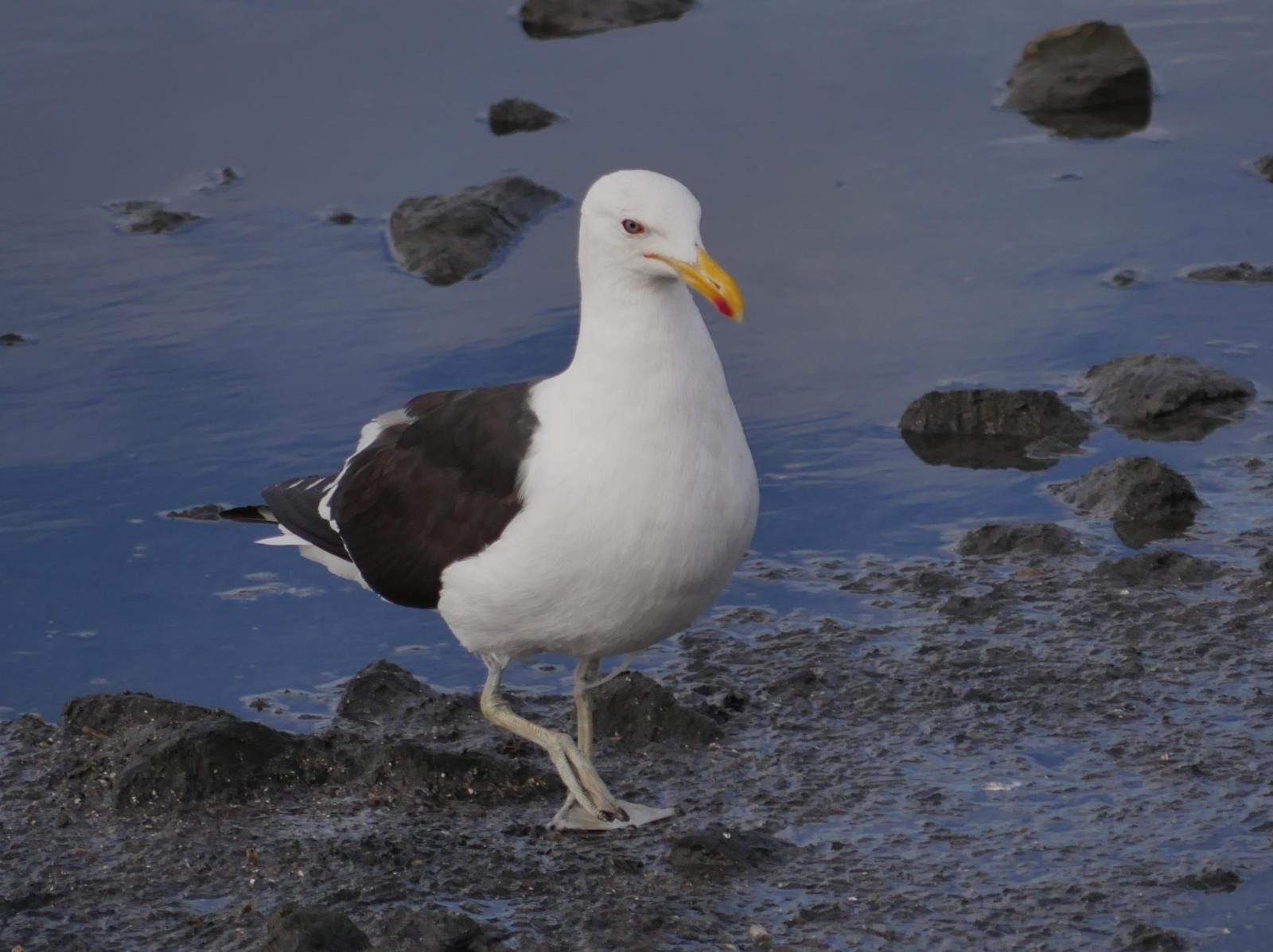Kelp Gull Photo by Peter Lowe
