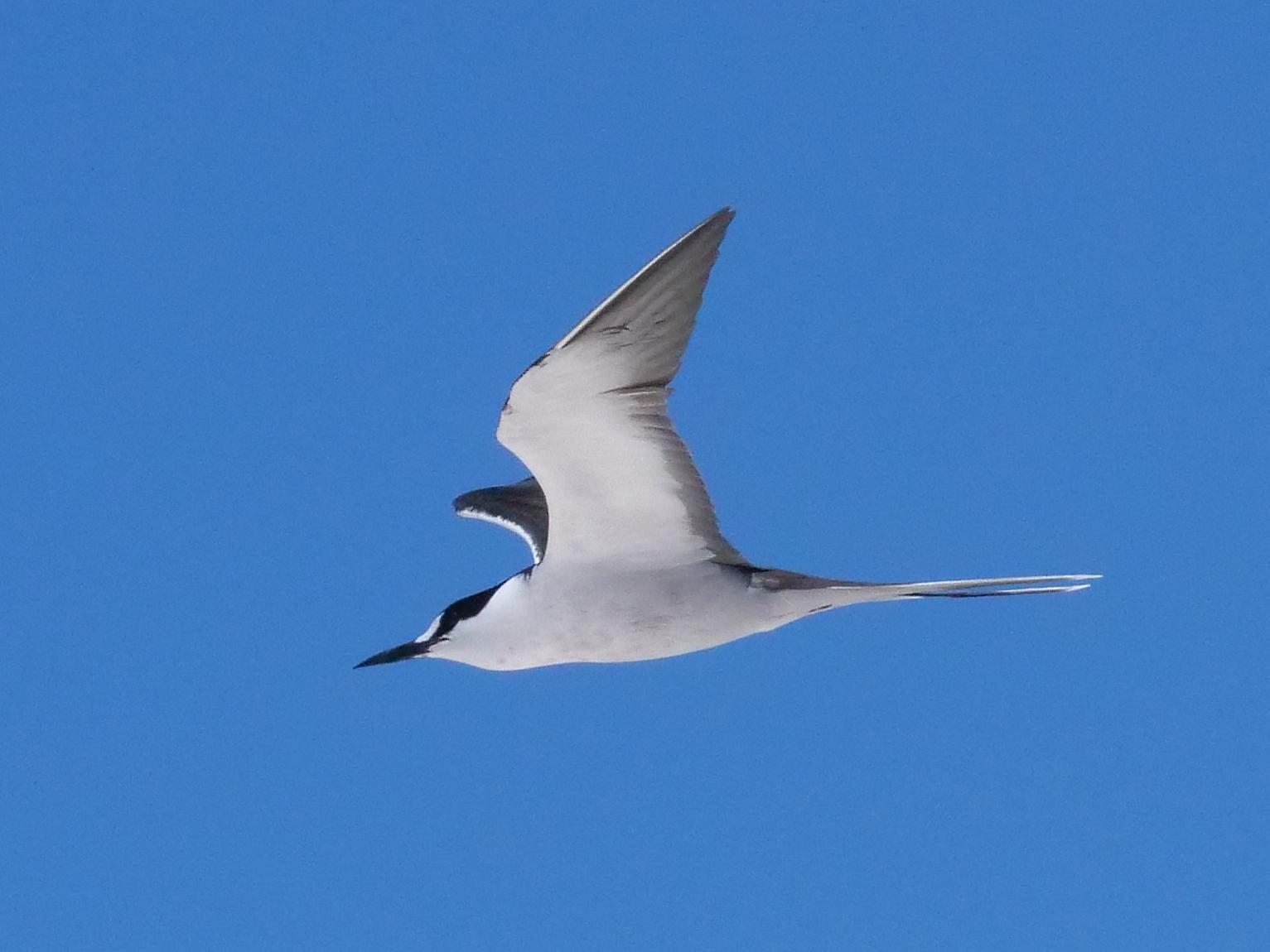 Sooty Tern Photo by Peter Lowe
