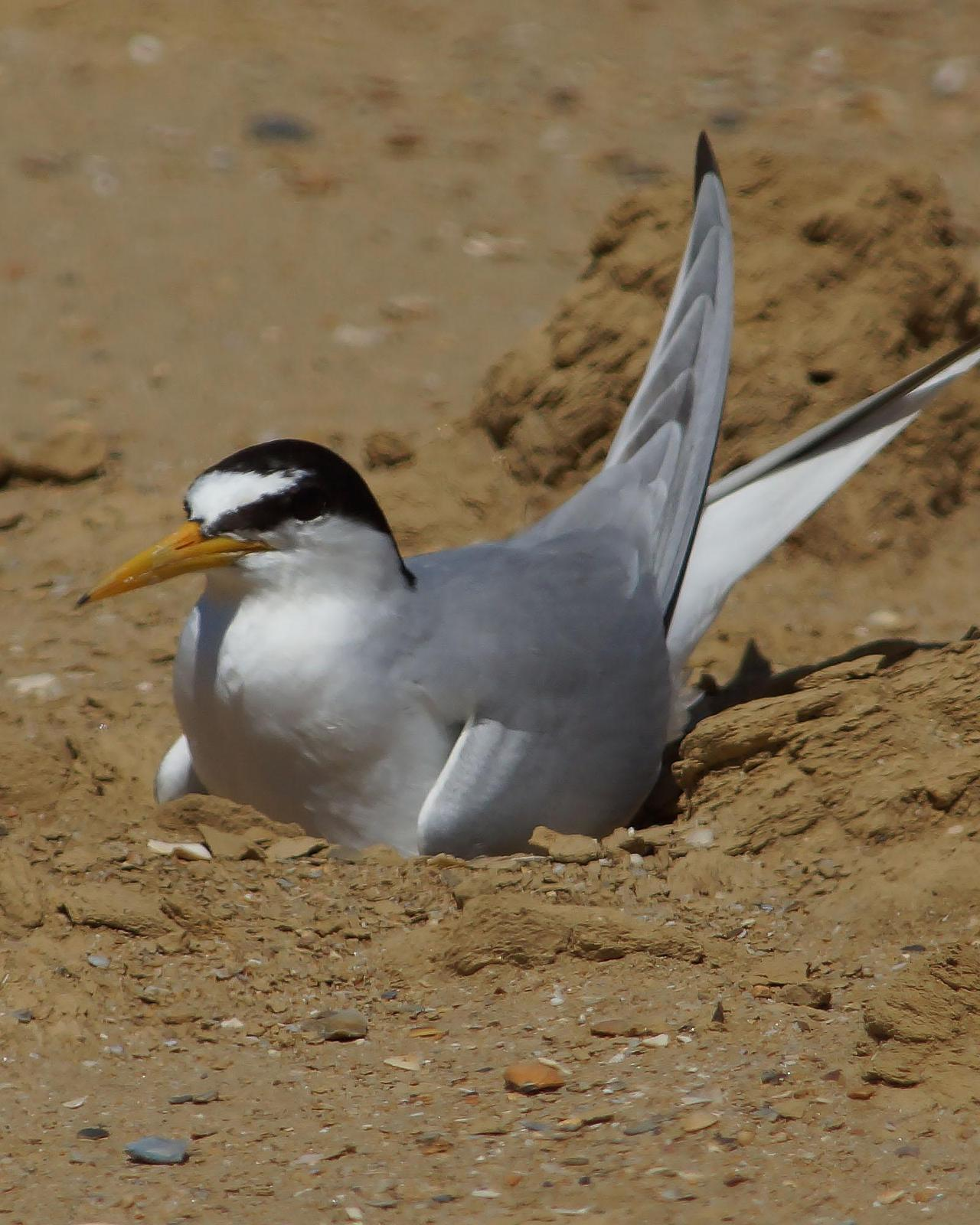 Little Tern Photo by Steve Percival