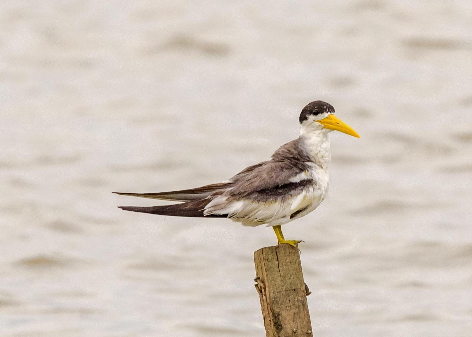 Yellow-billed Tern Photo by Keshava Mysore