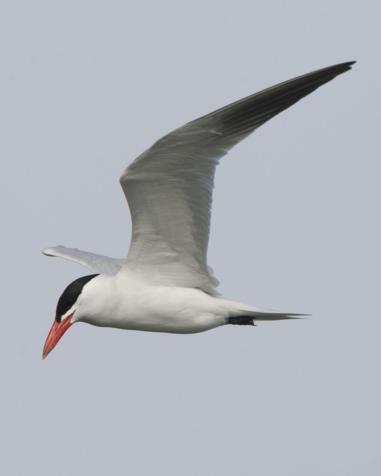 Caspian Tern Photo by Jeff Moore