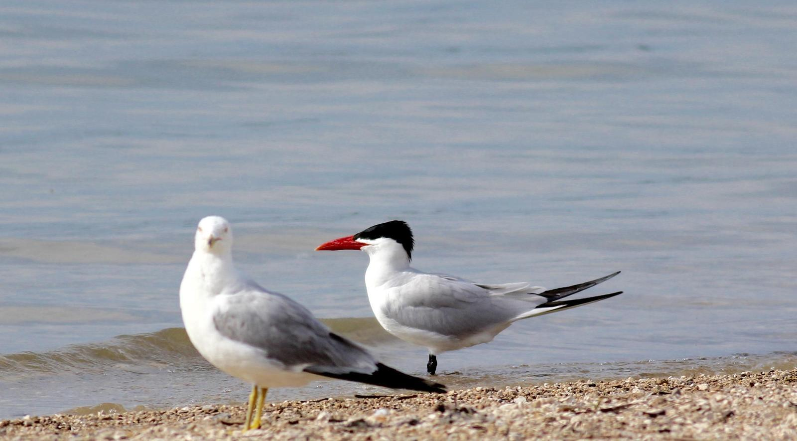 Caspian Tern Photo by Kathryn Keith