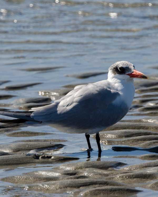Caspian Tern Photo by Bob Hasenick