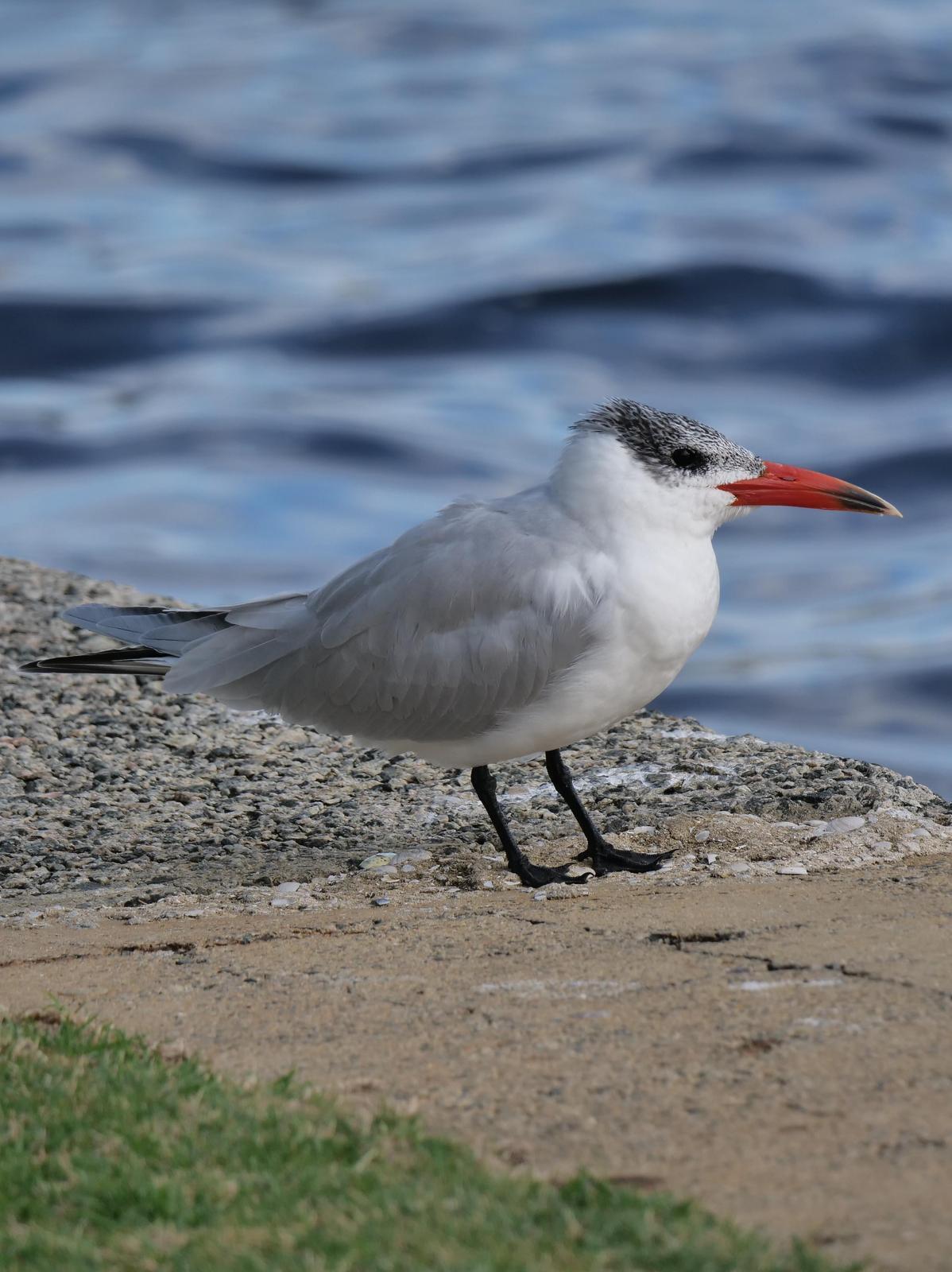 Caspian Tern Photo by Peter Lowe