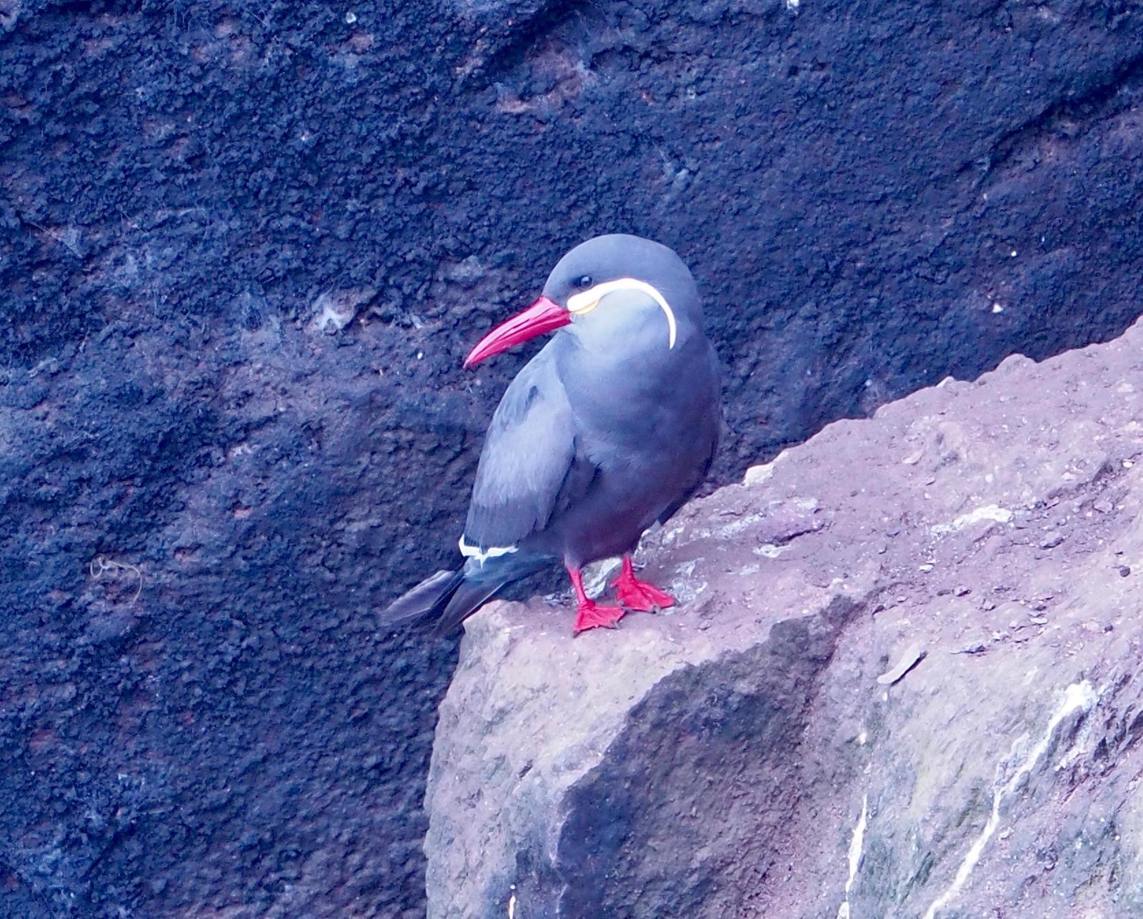 Inca Tern Photo by Geraint Langford
