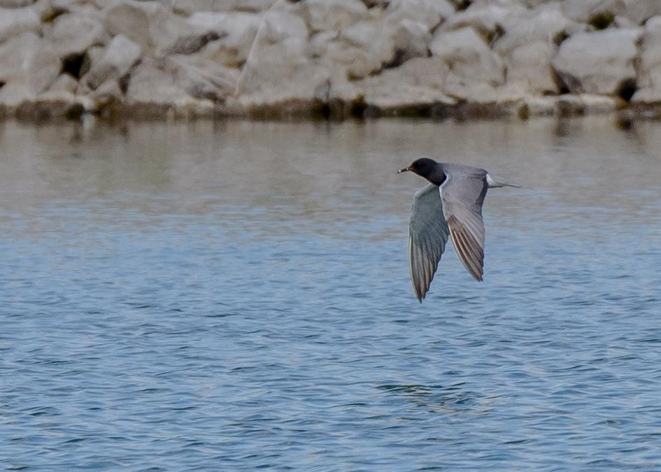 Black Tern Photo by Keshava Mysore