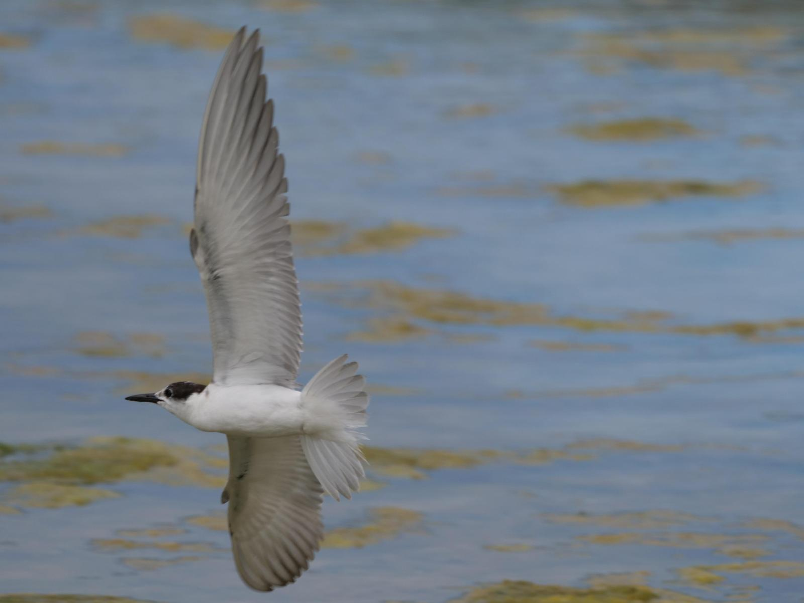 Whiskered Tern Photo by Peter Lowe