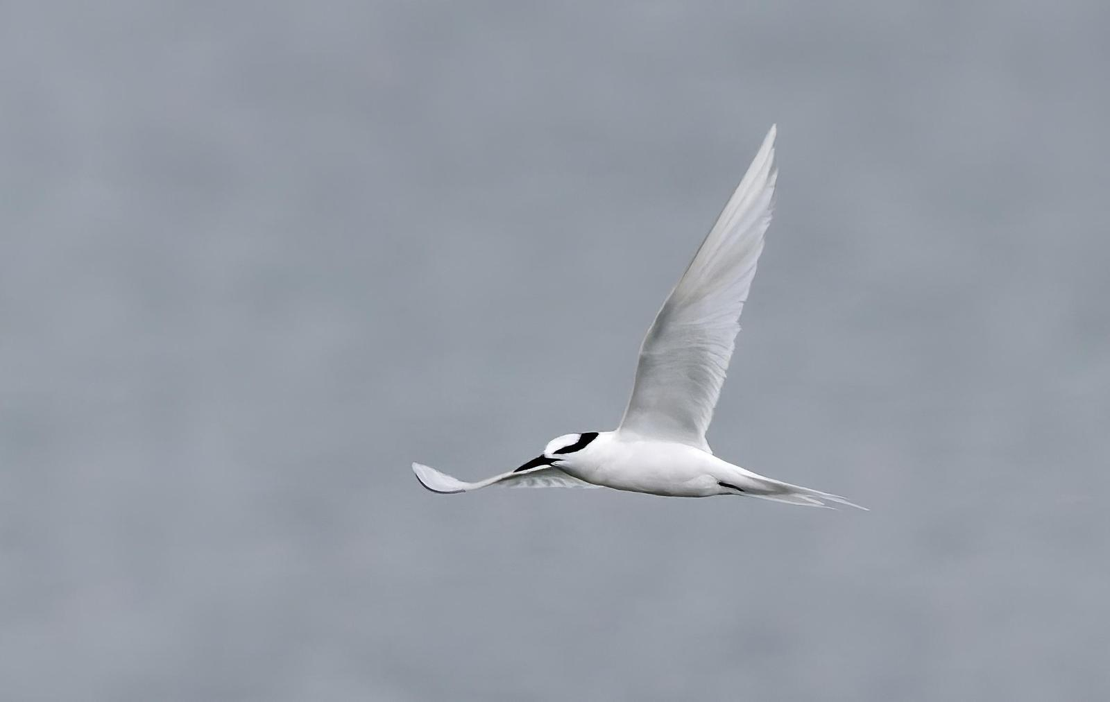Black-naped Tern Photo by Kenneth Cheong