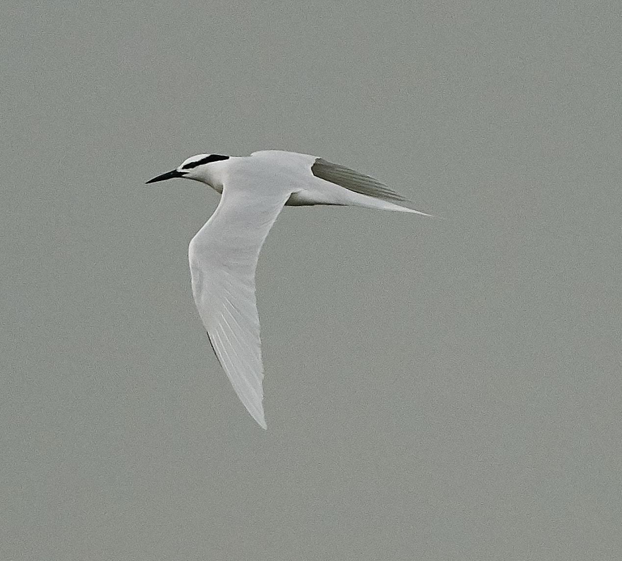 Black-naped Tern Photo by Steven Cheong