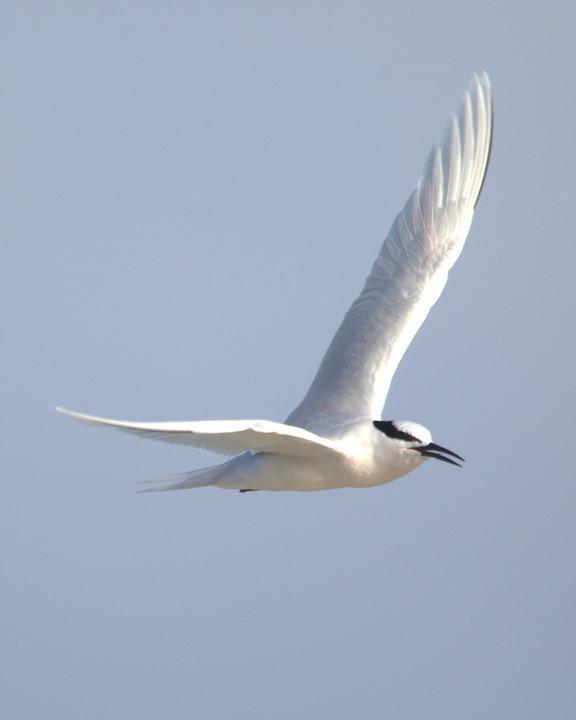 Black-naped Tern Photo by Mat Gilfedder