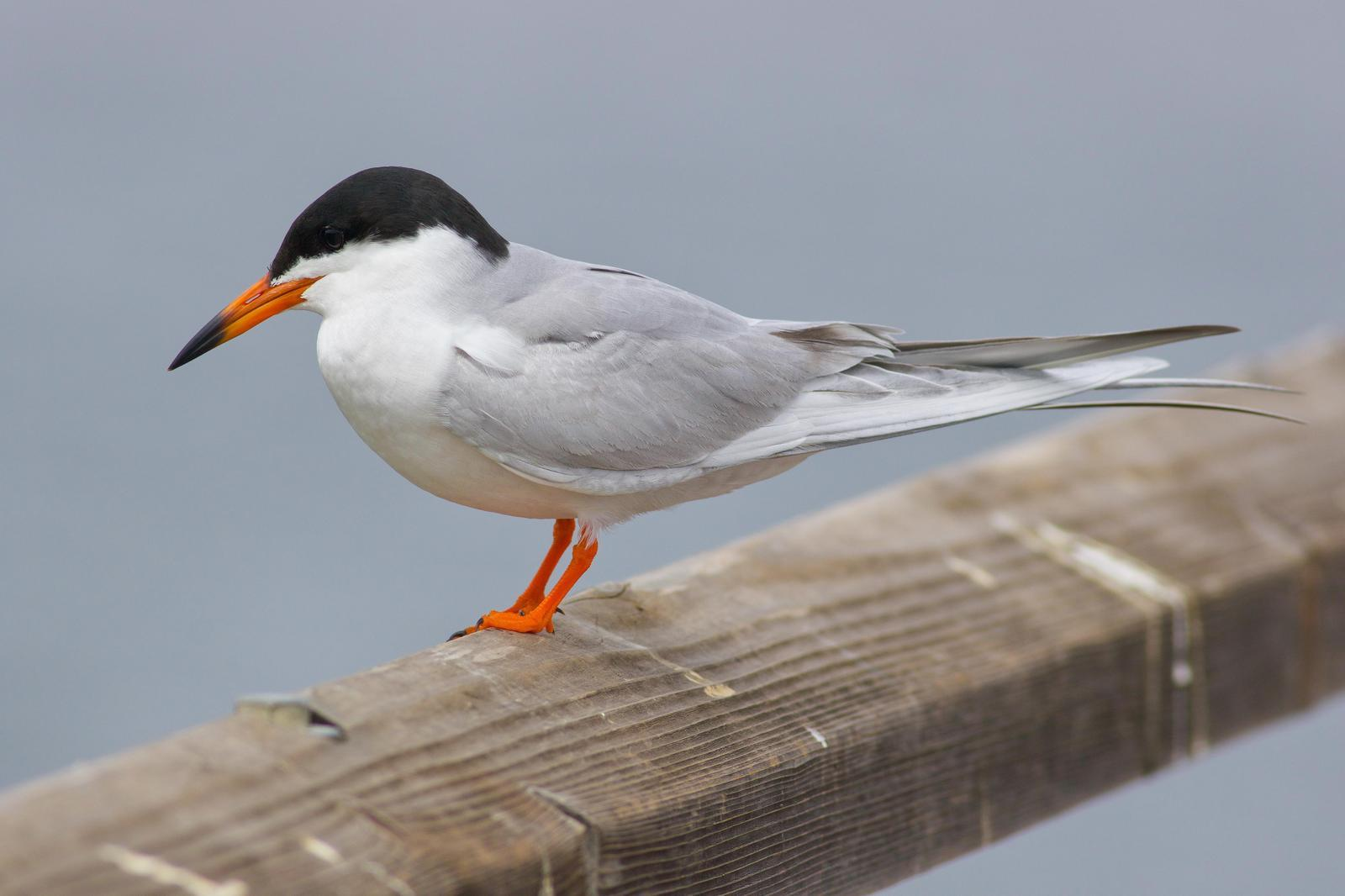 Forster's Tern Photo by Tom Ford-Hutchinson