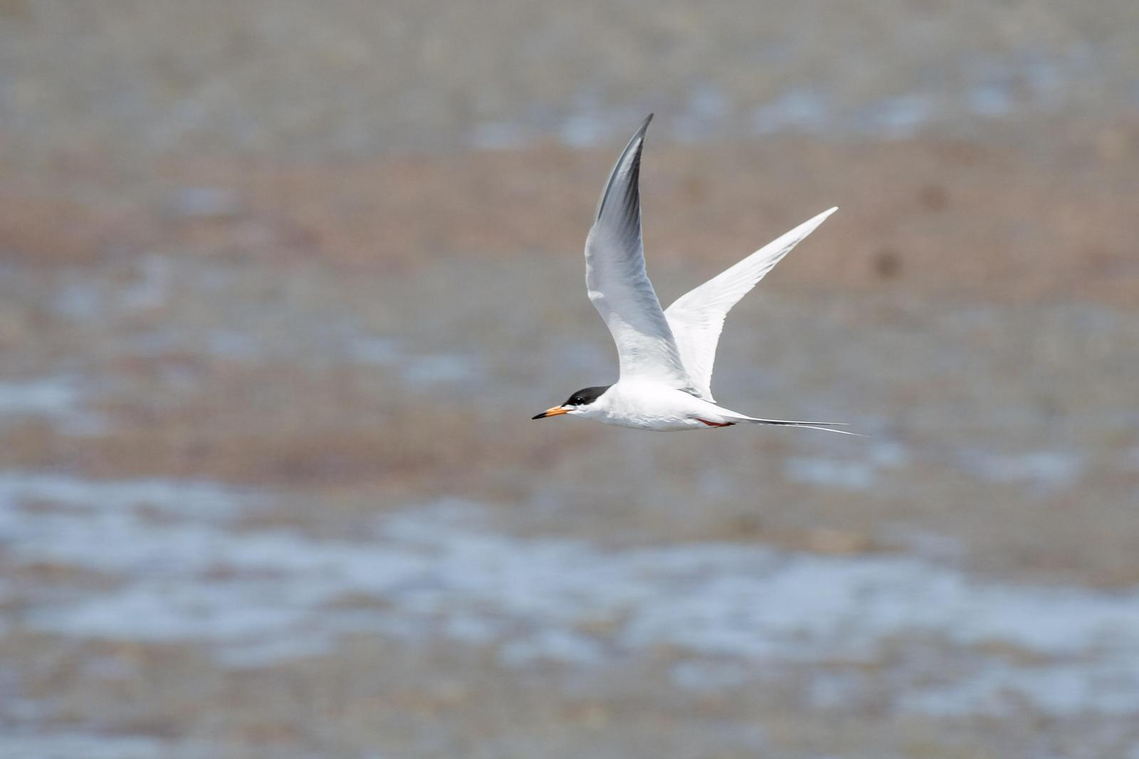 Forster's Tern Photo by Dylan Hopkins
