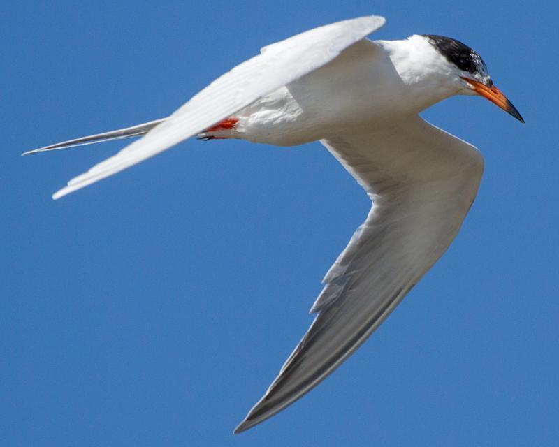 Forster's Tern Photo by Ashley Bradford