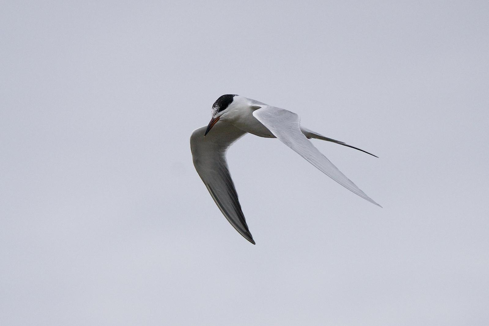 Forster's Tern Photo by Gerald Hoekstra