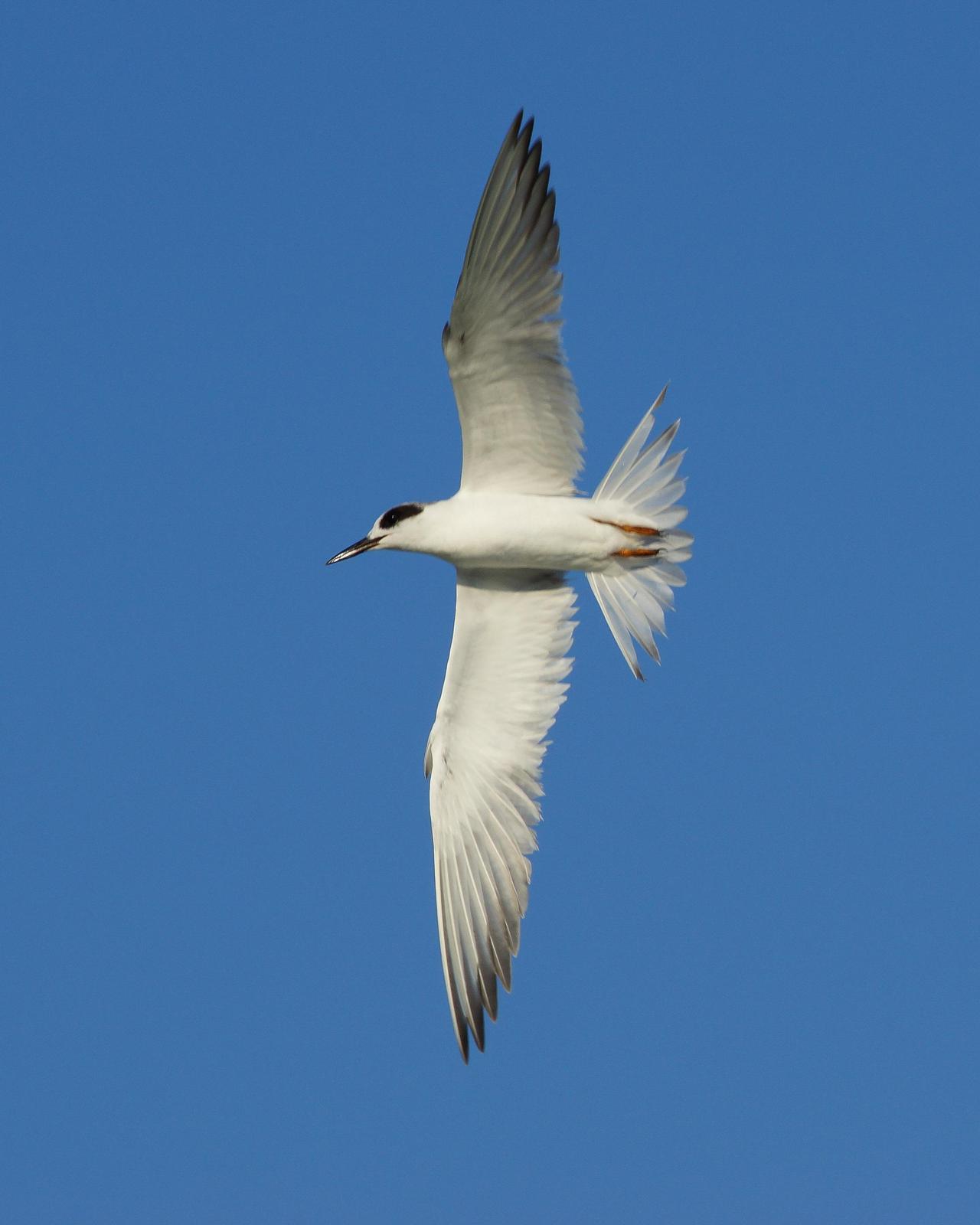 Forster's Tern Photo by Steve Percival