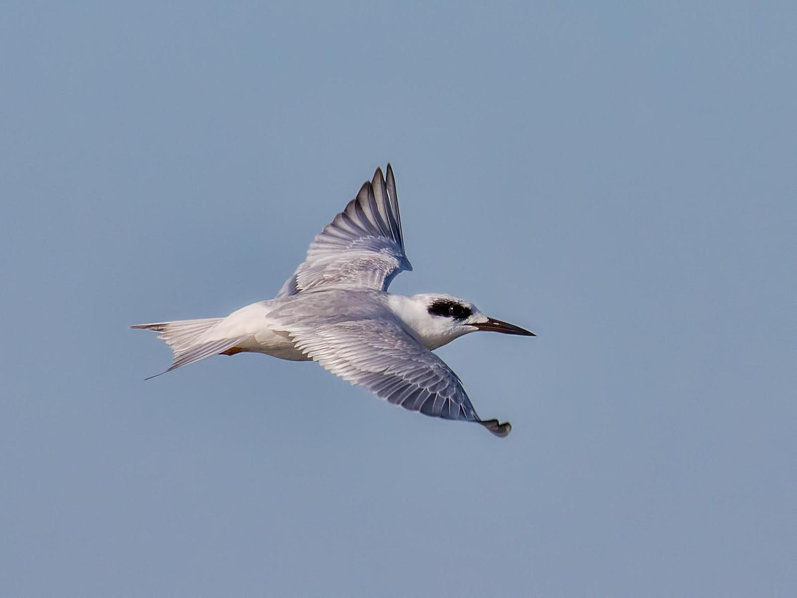 Forster's Tern Photo by Michael Moore
