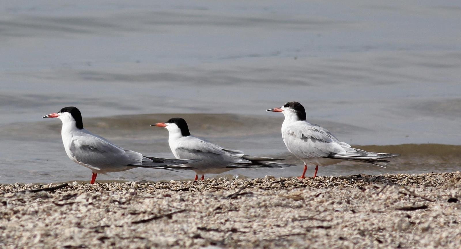 Forster's Tern Photo by Kathryn Keith