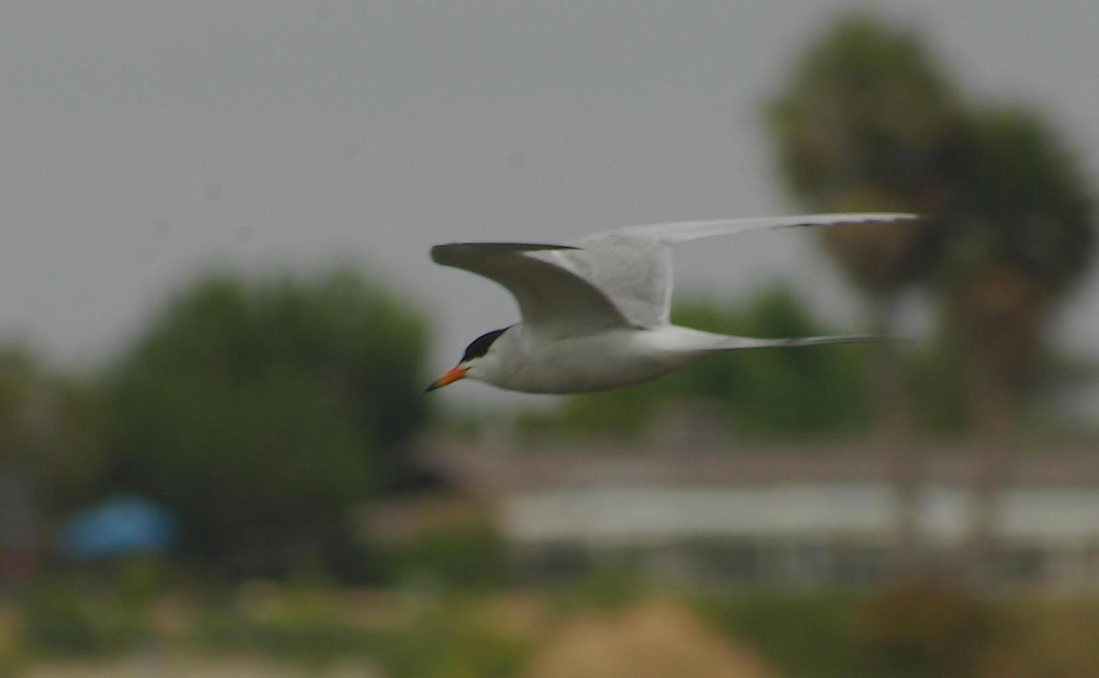 Forster's Tern Photo by Kent Jensen