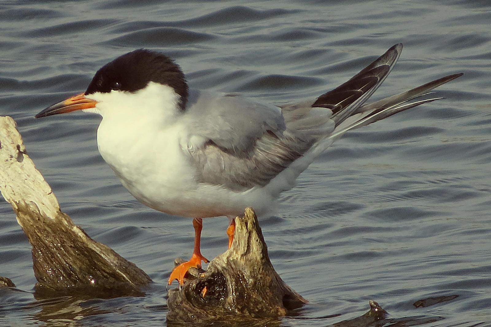 Forster's Tern Photo by Bob Neugebauer