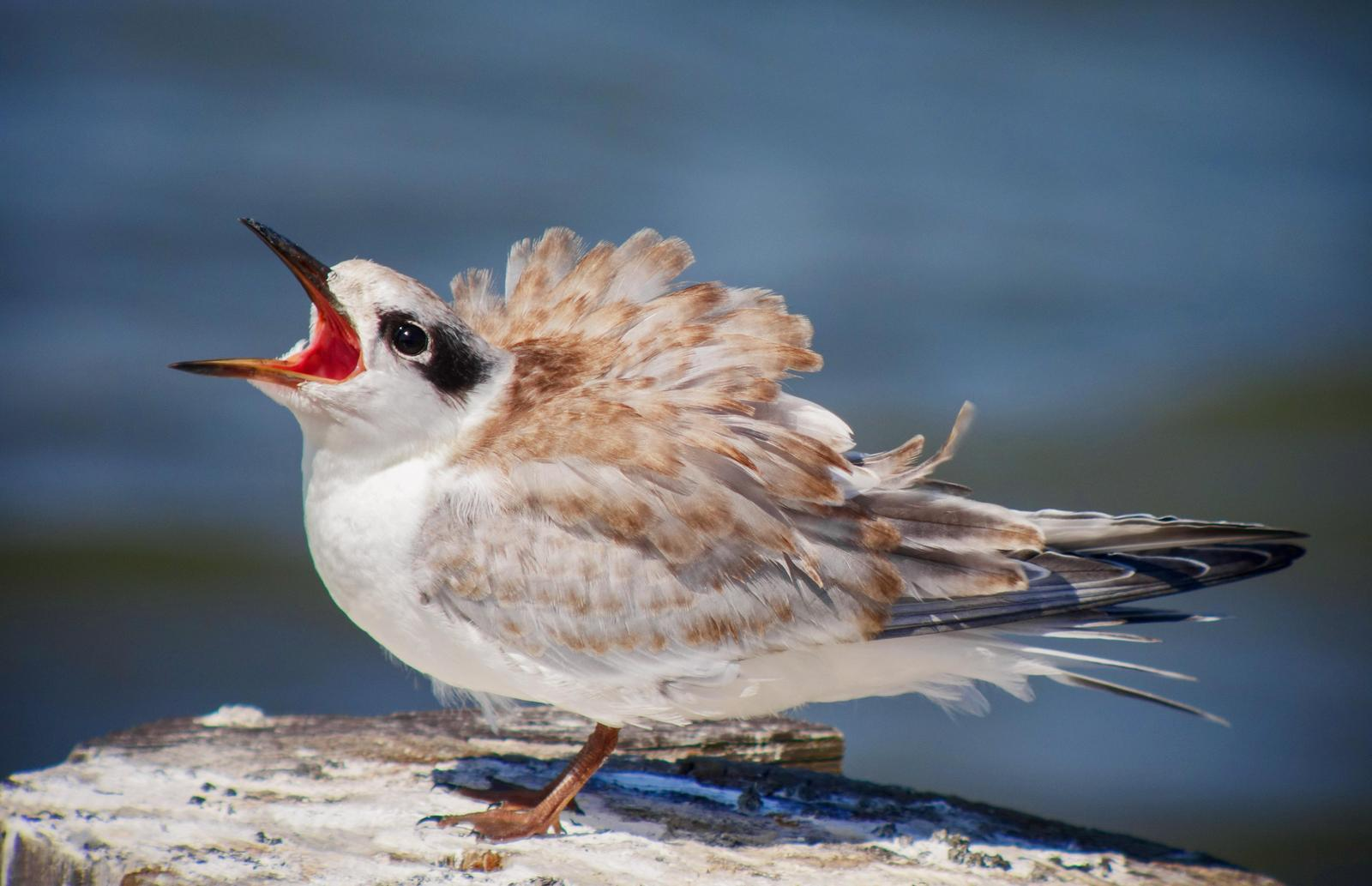 Forster's Tern Photo by Joseph Pescatore