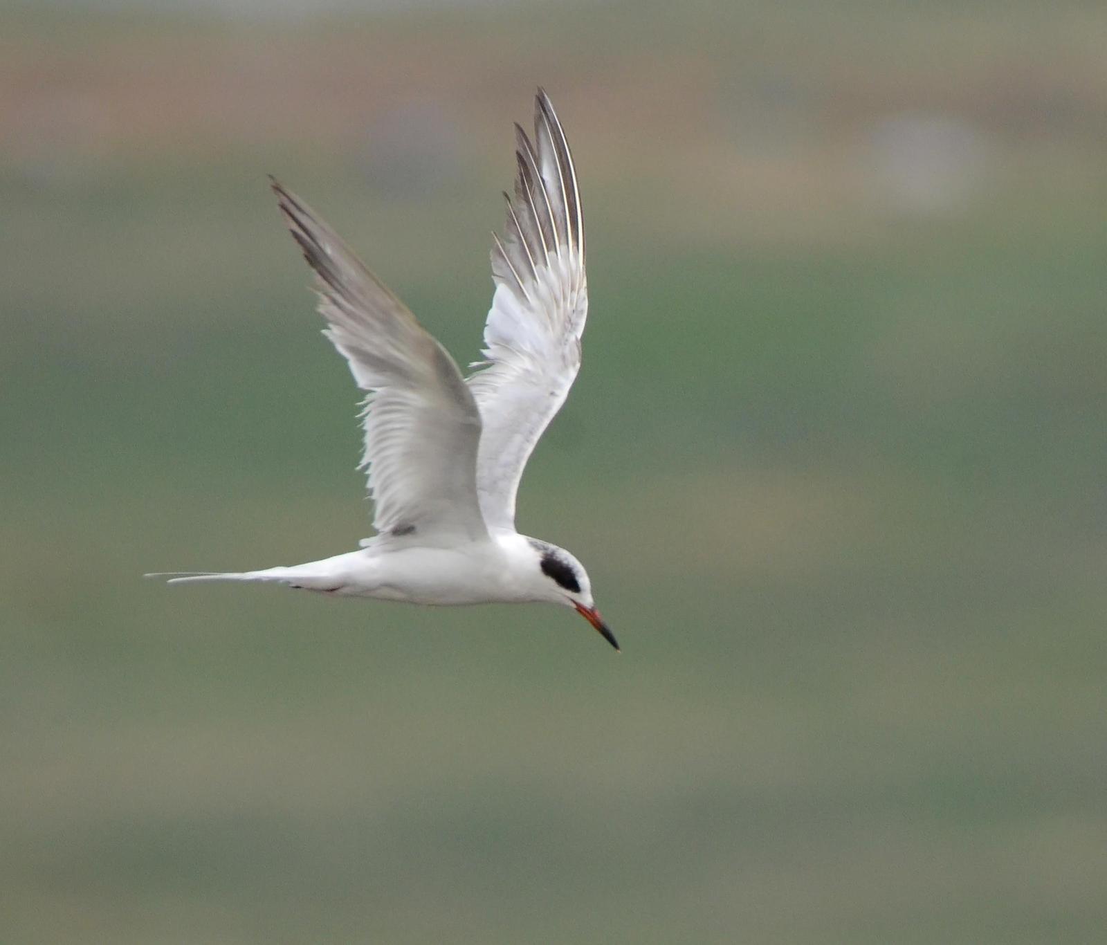 Forster's Tern Photo by Steven Mlodinow