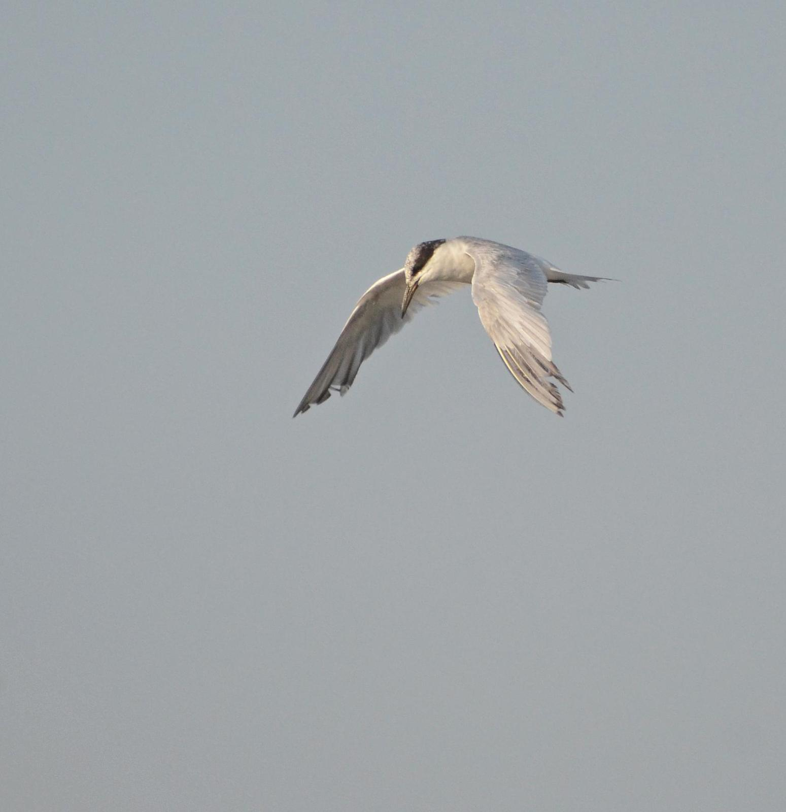 Forster's Tern Photo by Steven Mlodinow