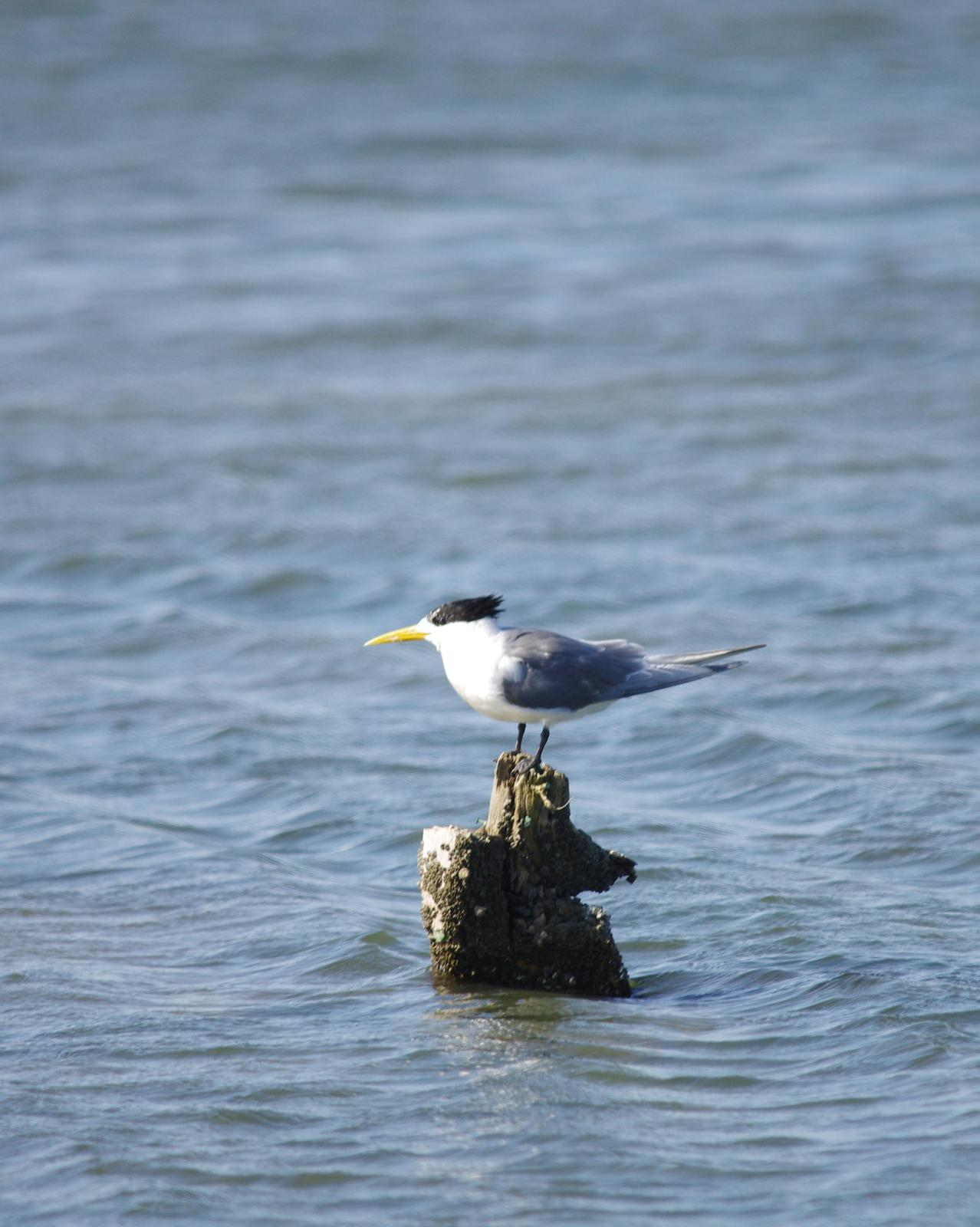 Great Crested Tern Photo by Richard Lund