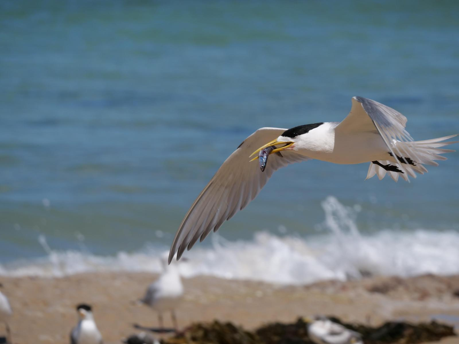 Great Crested Tern Photo by Peter Lowe