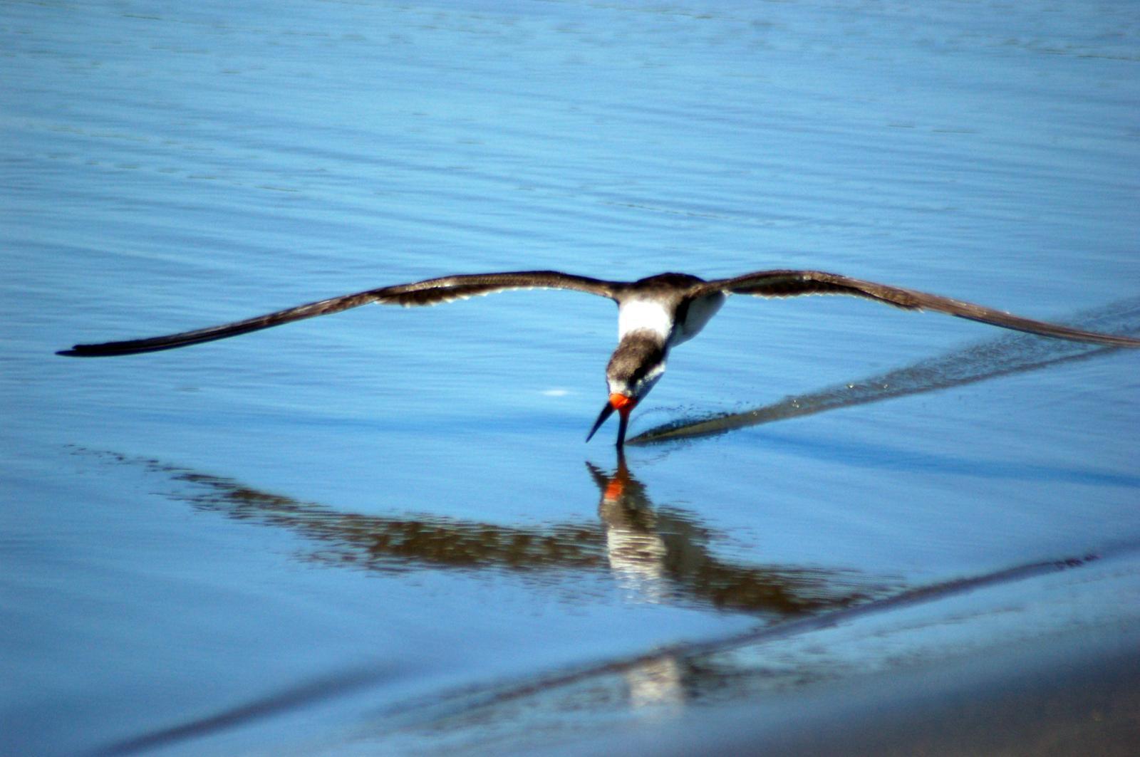 Black Skimmer Photo by Carlos Silva-Quintas