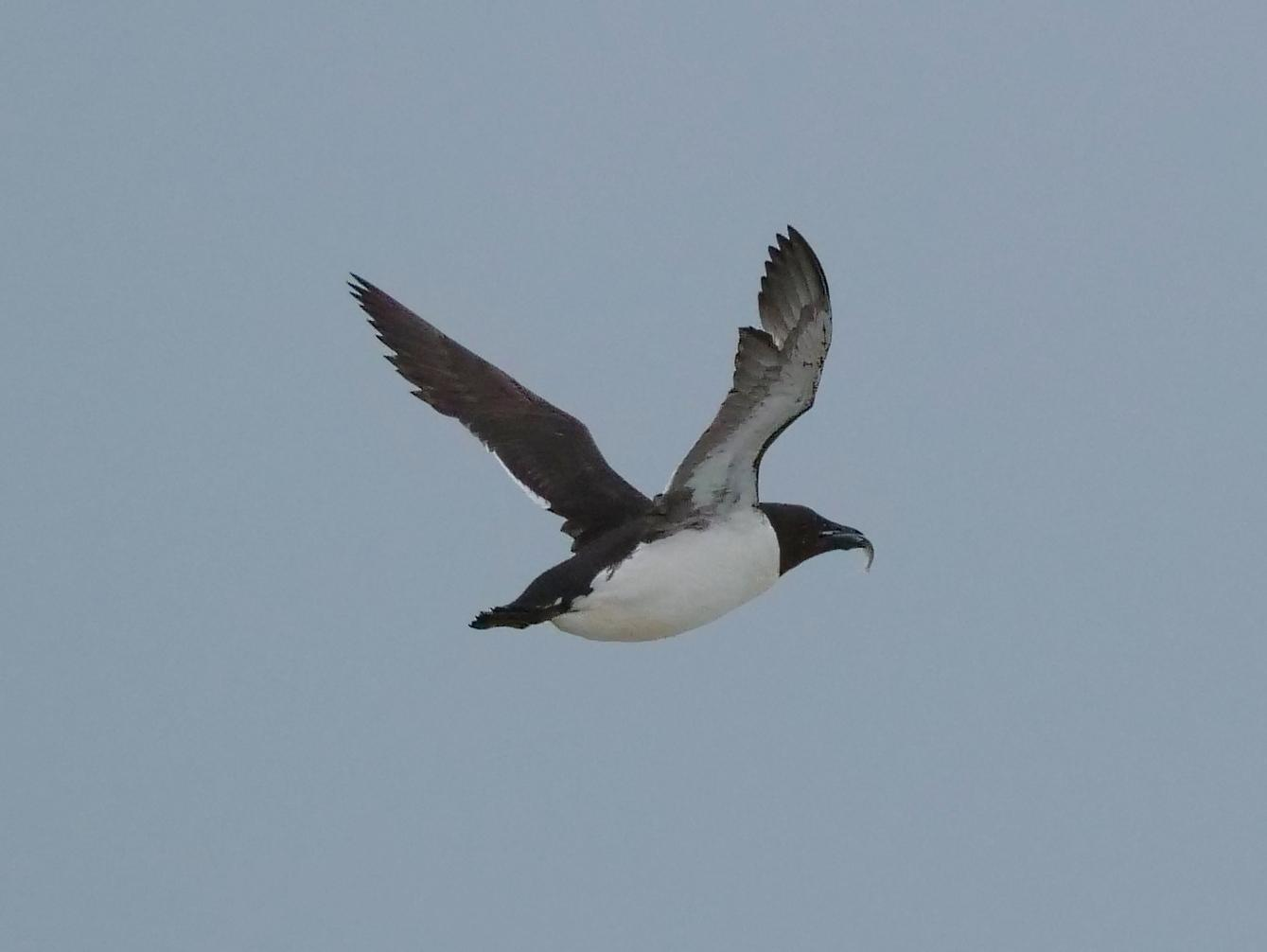 Thick-billed Murre Photo by Peter Lowe