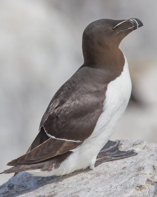 Razorbill Photo by Mike Barth