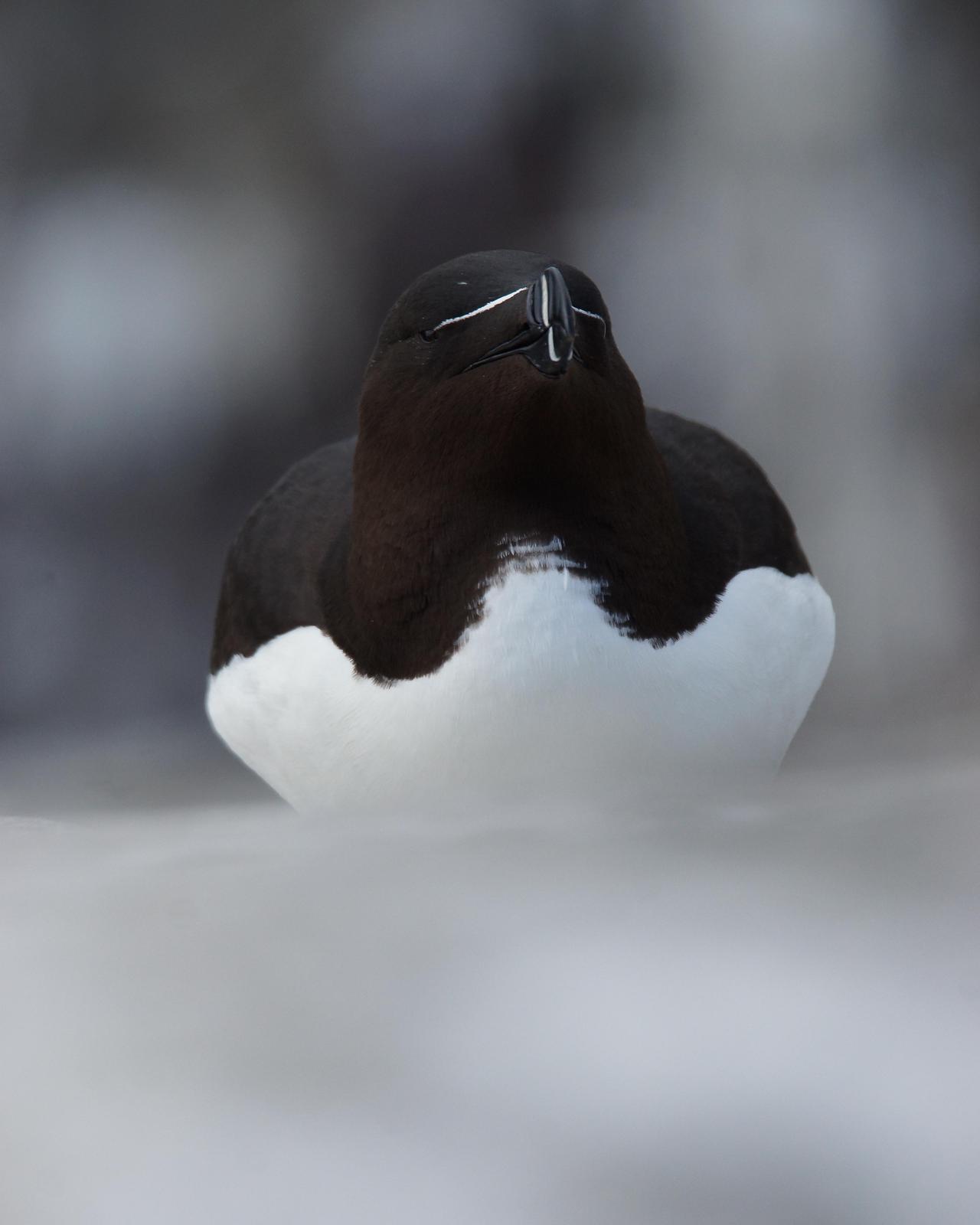 Razorbill Photo by Steve Percival