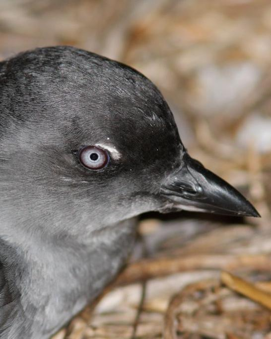Cassin's Auklet Photo by Oscar Johnson