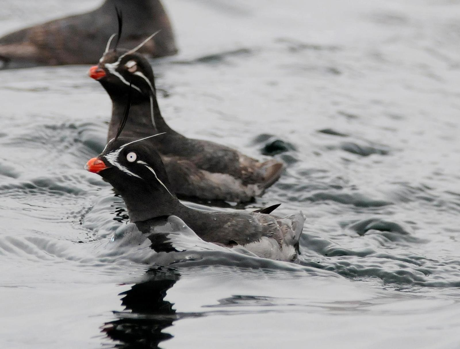 Whiskered Auklet Photo by Steven Mlodinow
