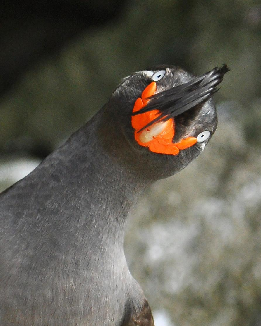 Crested Auklet Photo by Ryan P. O'Donnell
