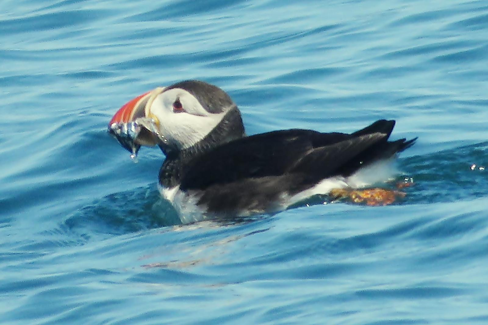 Atlantic Puffin Photo by Bob Neugebauer