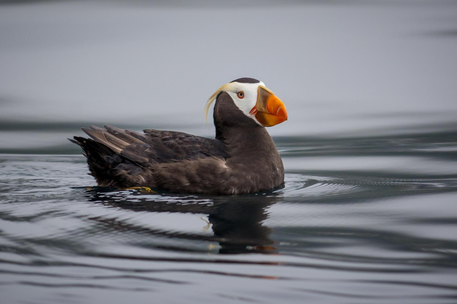 Tufted Puffin Photo by Jesse Hodges