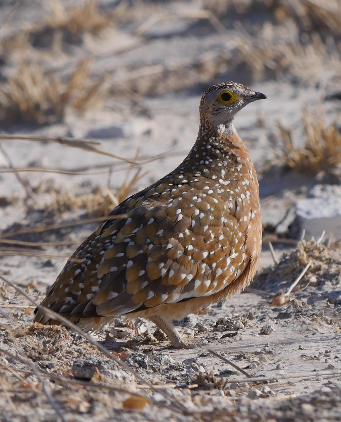 Burchell's Sandgrouse Photo by Peter Lowe