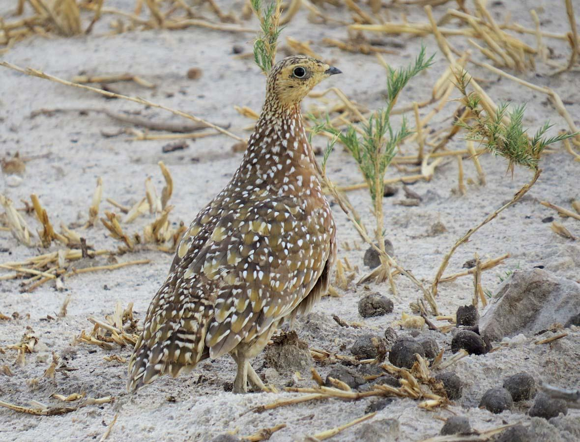 Burchell's Sandgrouse Photo by Peter Boesman
