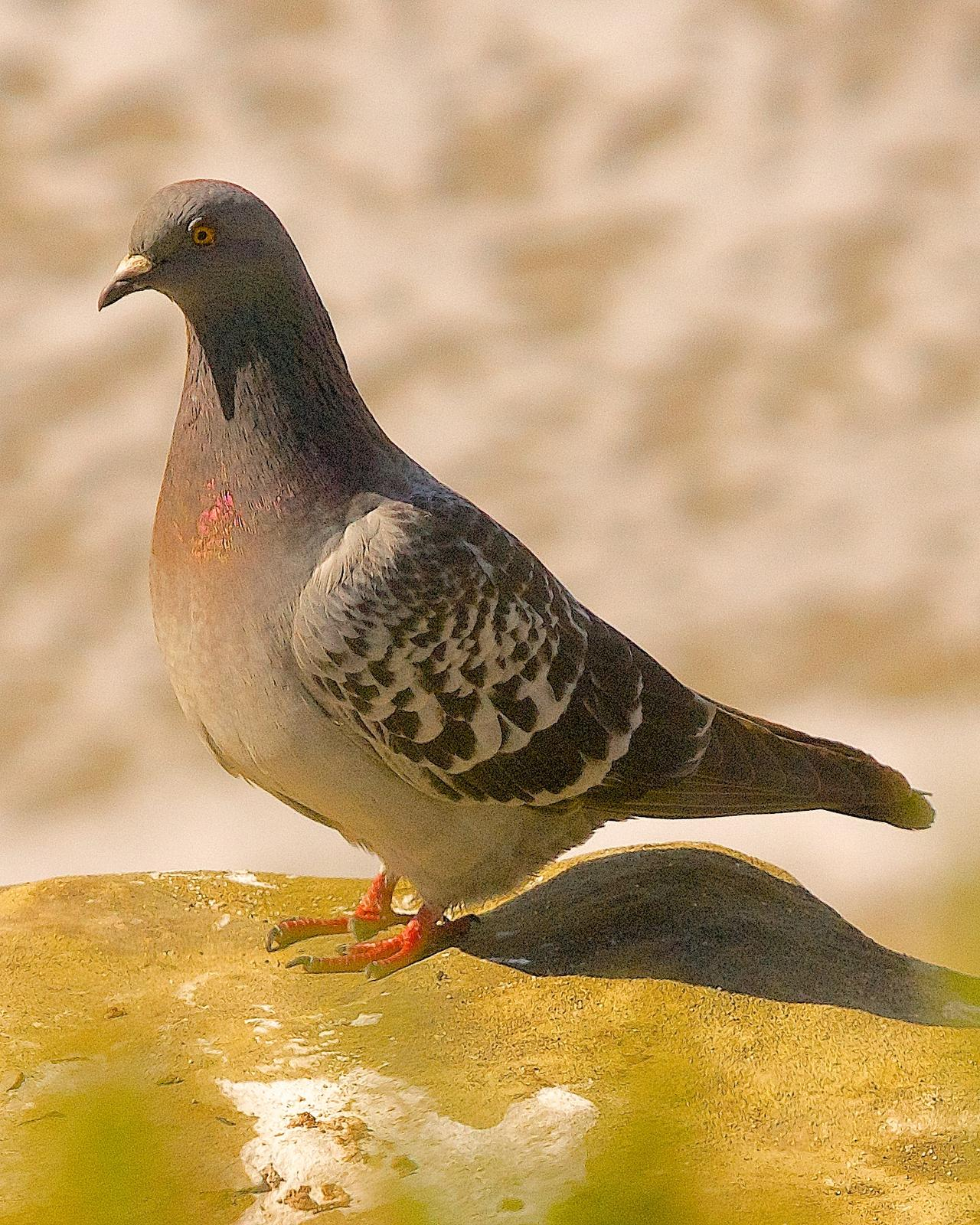 Rock Pigeon Photo by Gerald Hoekstra