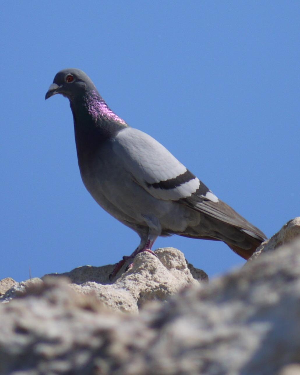 Rock Pigeon Photo by Peter Lowe